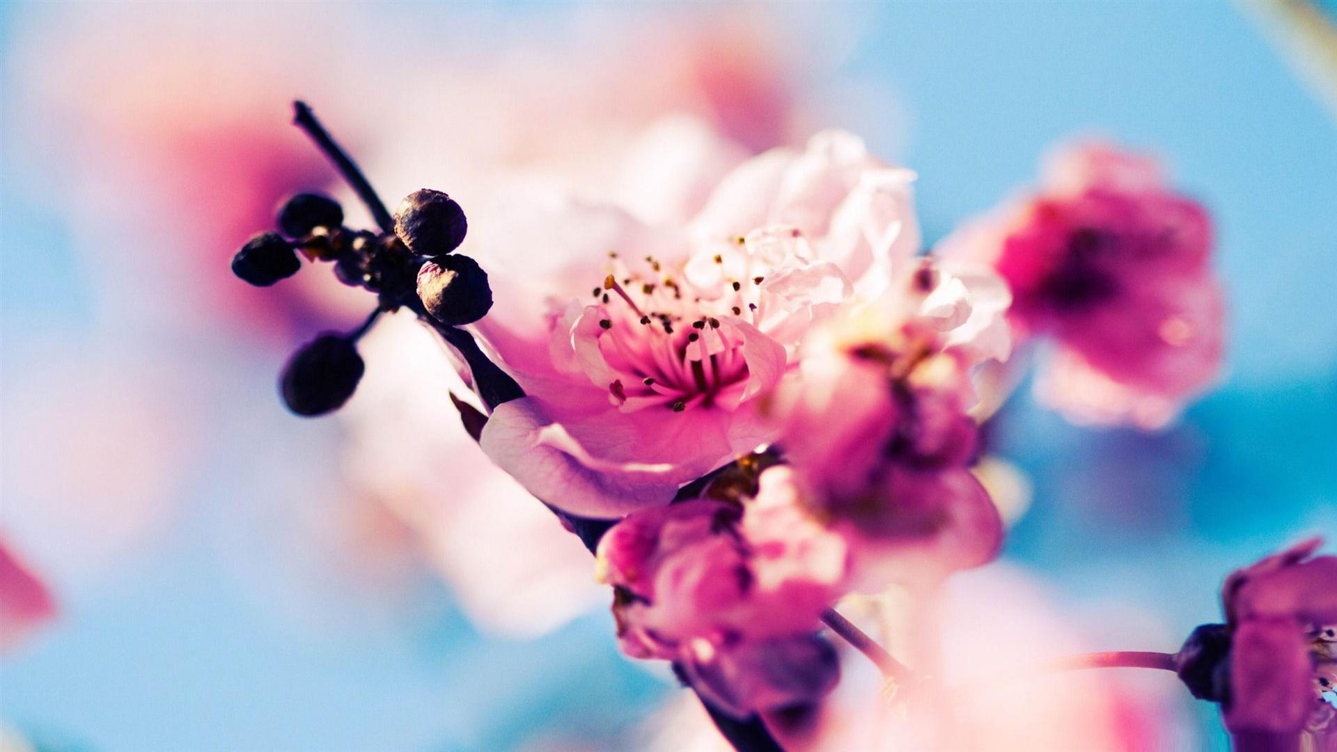 Cherry Blossom Festival In An