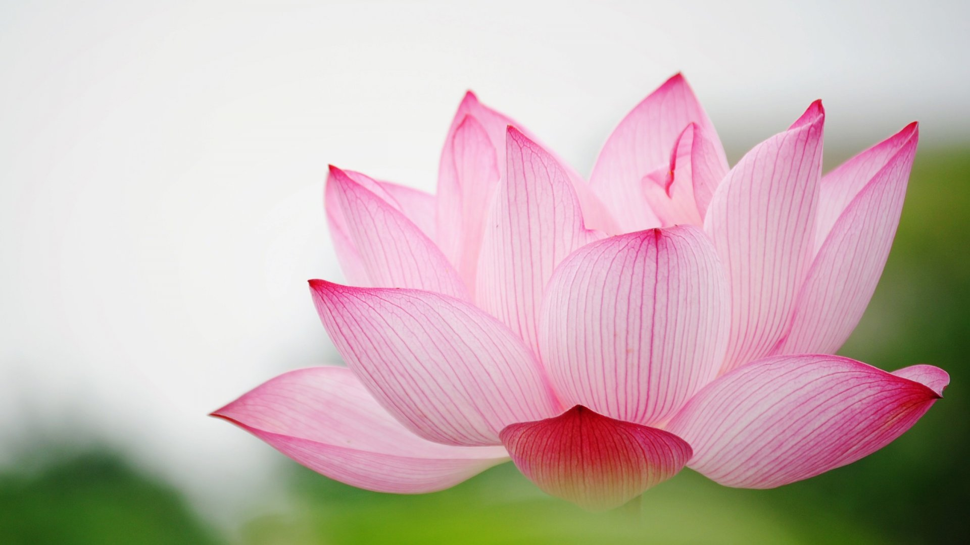 Thailands lotus lake a secret red flower galaxy connoisseurs thailands lotus lake a secret red flower galaxy izmirmasajfo